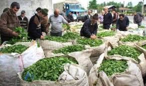 انعقاد قرارداد با کارخانجات چای شمال