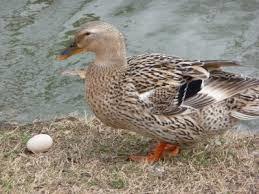 ثبت شجره نامه اردک بومی گیلان
