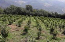 توسعه باغهای گیلان در زمینهای شیبدار