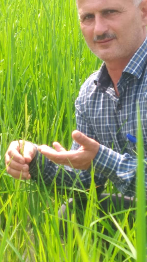 ظهور نخستین خوشههای برنج در گیلان
